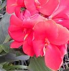 カンナの花を見て。