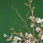 咲いてなくとも桜🌸